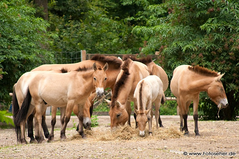 Fotos aus dem Tierpark Oberwald + Video: Przewalski-Pferde